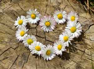 daisy-heart-flowers-flower-heart.jpg